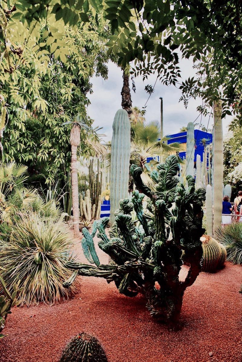 marrakesz ogród majorelle, Marrakesz ogród ysl Laurent Jardin majorelle, kaktusy