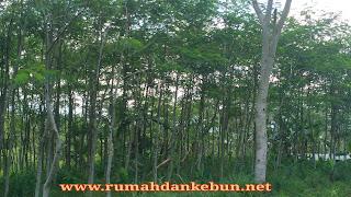 cara menanam pohon sengon laut