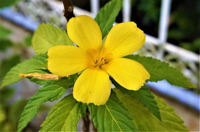 Bunga Pukul Delapan (Turnera ulmifolia L.)