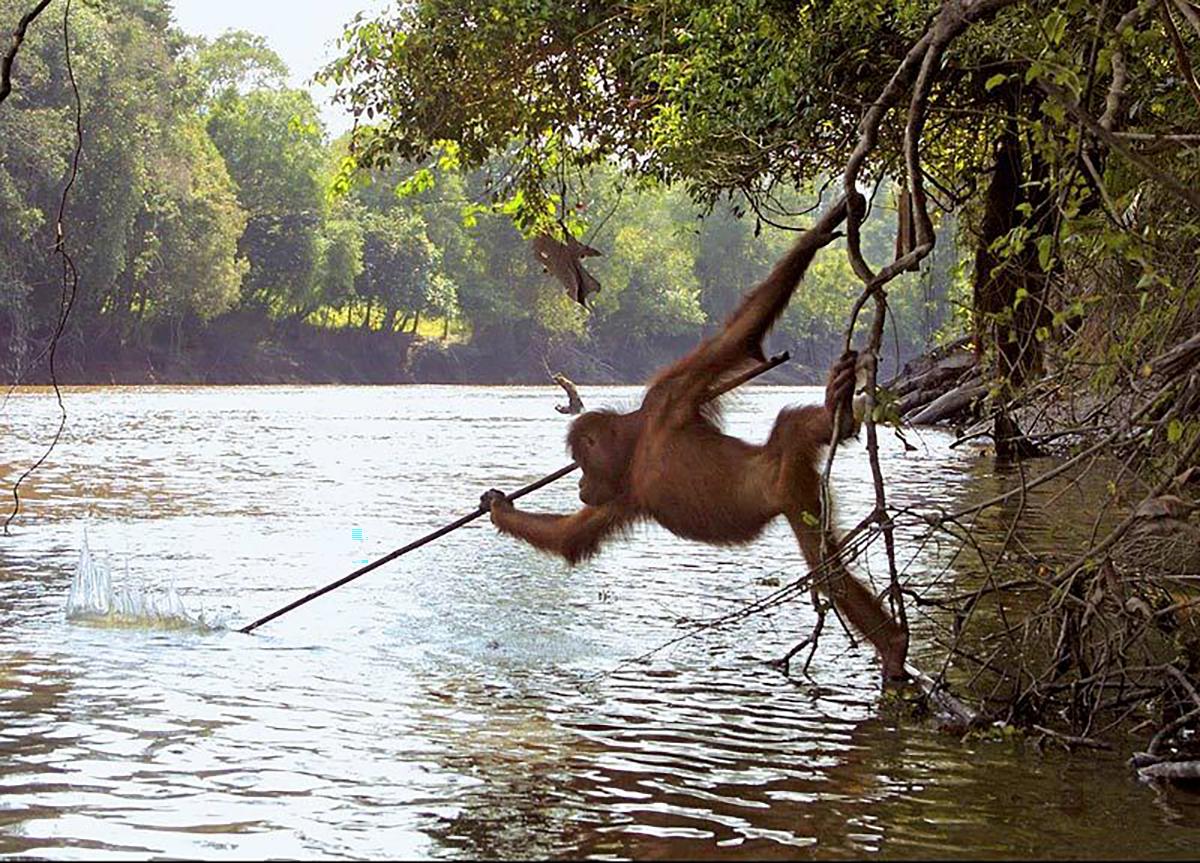Orangutan, Borneo, Fishing