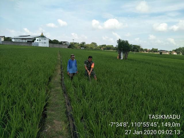 KodimKaranganyar - Serka Samidi Dampingi Upsus Penyiangan Tanaman Padi di Wilayah Binaannya