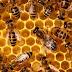 İşçi Arıların Yaşam Süresi Boyunca Kovan İçi Faaliyetleri
