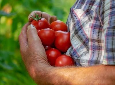 Tomat yakni sejenis buah yang sanggup kita temui dimana saja apalagi tomat sangat familier 6 Manfaat Buah Tomat