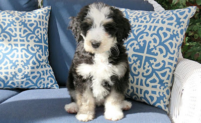 F2 bernedoodle Temperament, Size, Lifespan, Adoption
