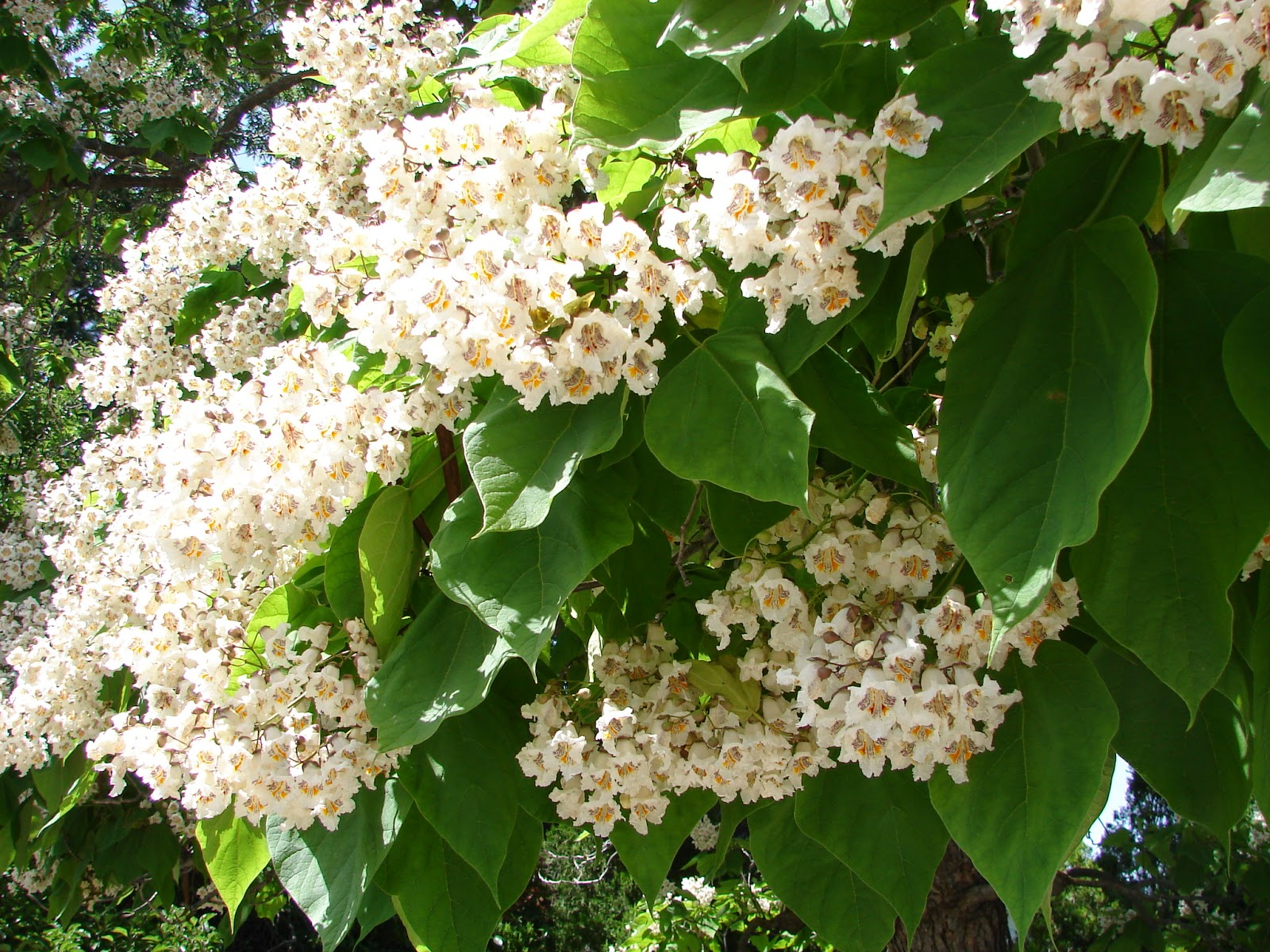 Well-known New Utah Gardener: Catalpa Trees In Utah FJ27