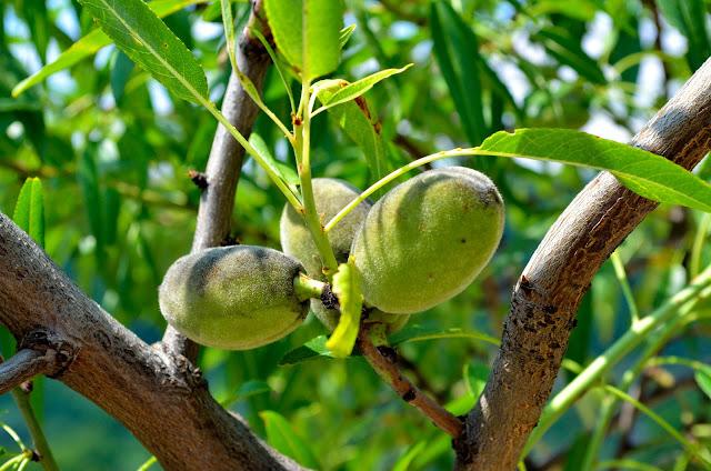 Organic Peach - Prunus persica