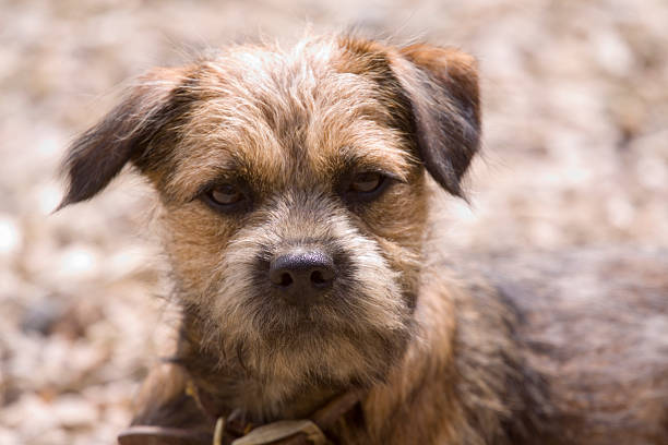 Border Terriers – Some Major Concerns with Them