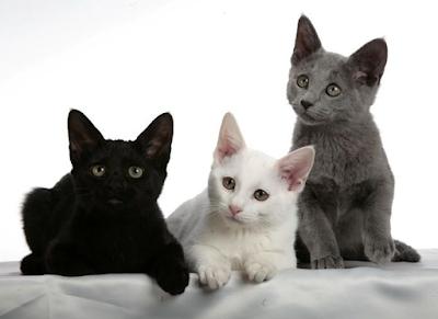 Jenis Ras Kucing Russian Black