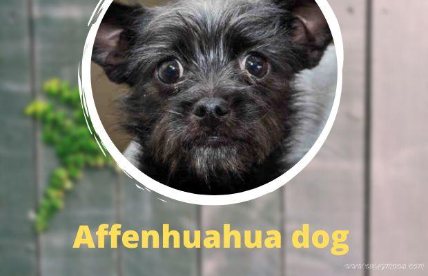 Affenhuahua dog: FAQs, Characteristics, and Cost-Okaymood