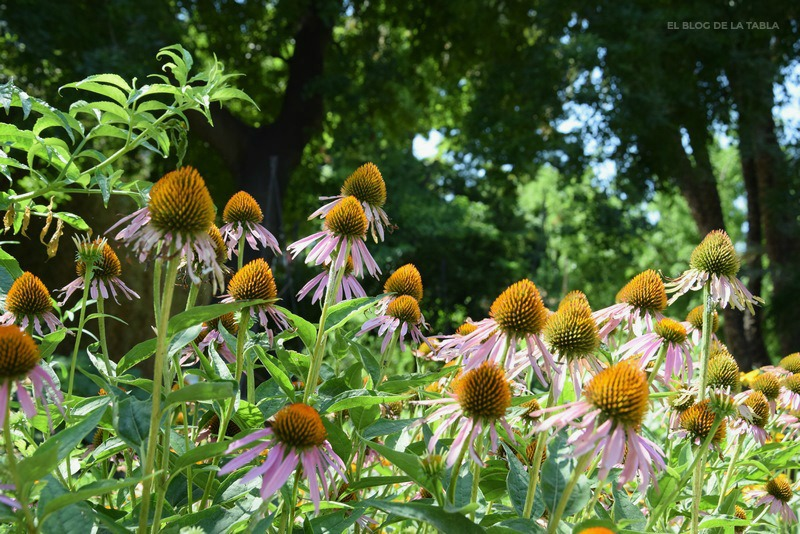 Echinacea purpurea, plantas tintóreas