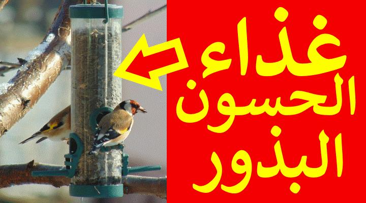 غذاء طائر الحسون البذور والحبوب التي يأكلها طائر الحسون