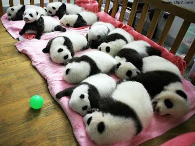 imagenes de ositos pandas bebes en guarderia