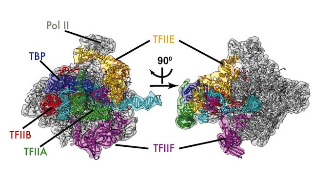 Researchers unveil new, detailed images of initial stages of DNA transcription