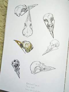 Blackbird skull studies
