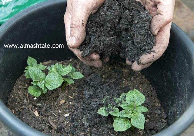 زراعة البطاطس potatoes في المنزل بكل سهولة للمبتدئين