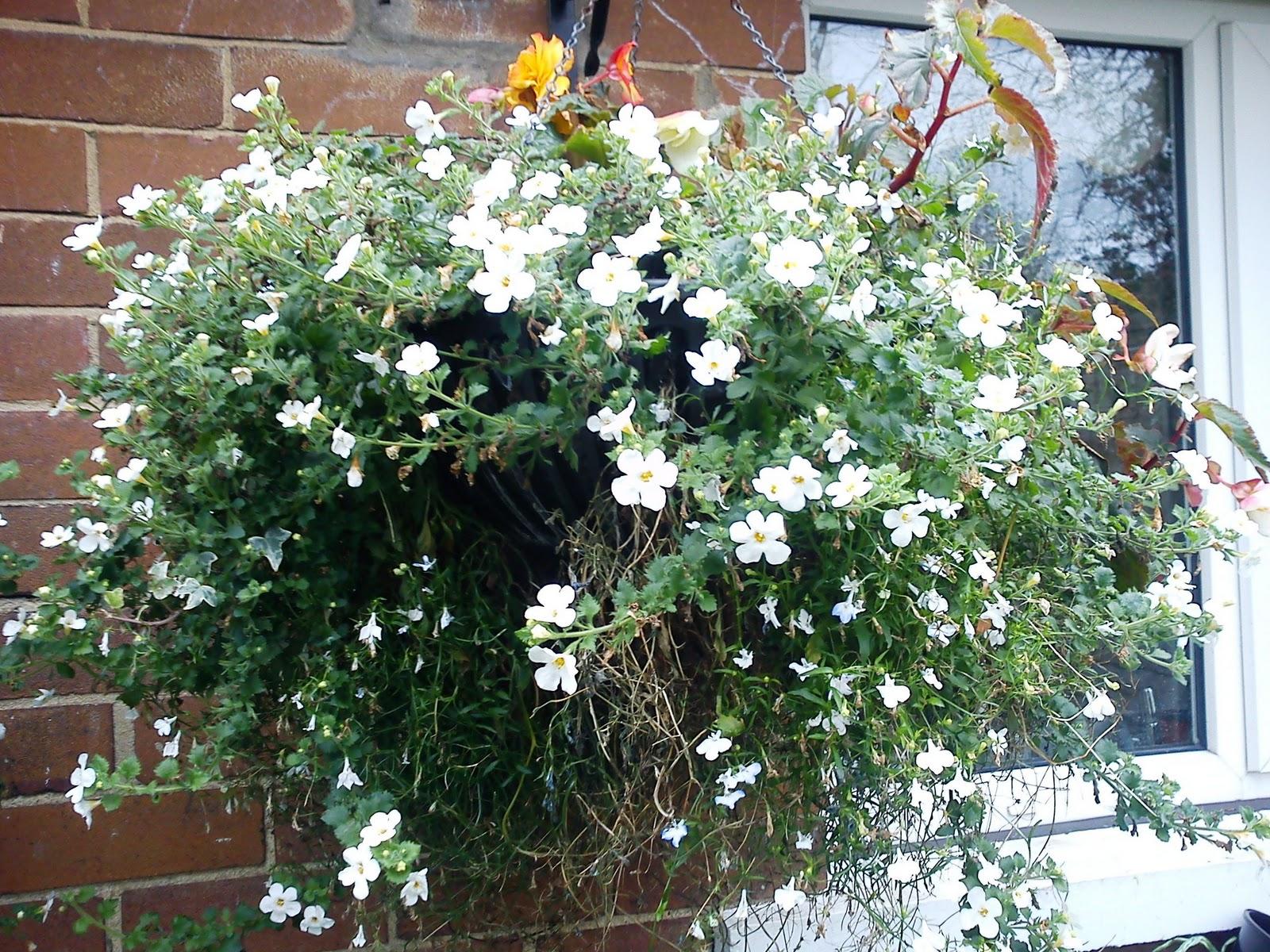 Trailing White Lobelia Gardeners Word