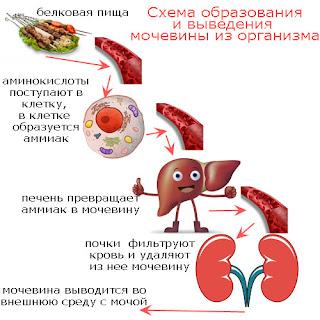 Схема образования мочевины в организме человека и выведения ее во внешнюю среду