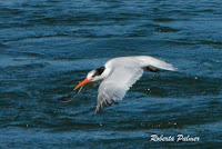 Elegant tern in flight near Moss Landing, CA - photo by Roberta Palmer, Sept. 24, 2016