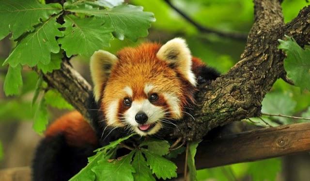 A vörös pandák nem egy, hanem valójában két fajba tartoznak