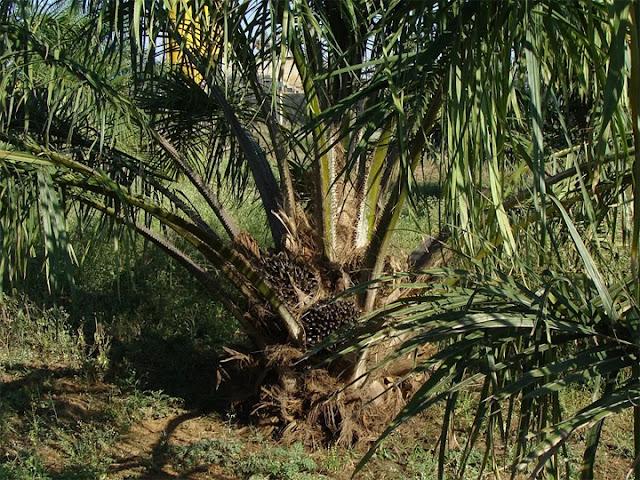 500,000 hektar perkebunan kelapa sawit akan dikembangkan di Caraga, Filipina