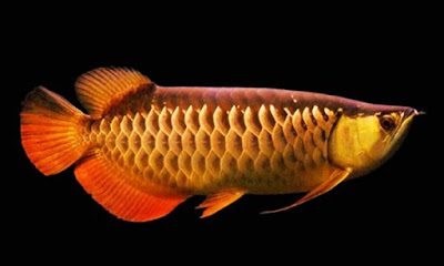Ikan Red Tail Golden Arwana