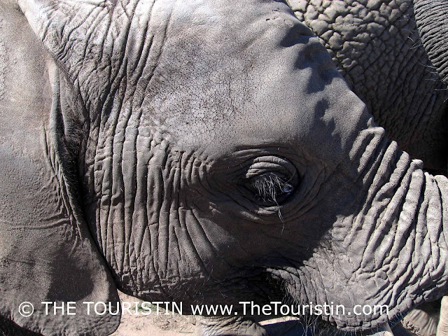 Head of a young elephant, long on long eye lashes