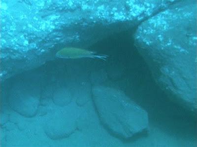 Atlantischer Mönchsfisch - Chromis limbatus © Canarian Sea