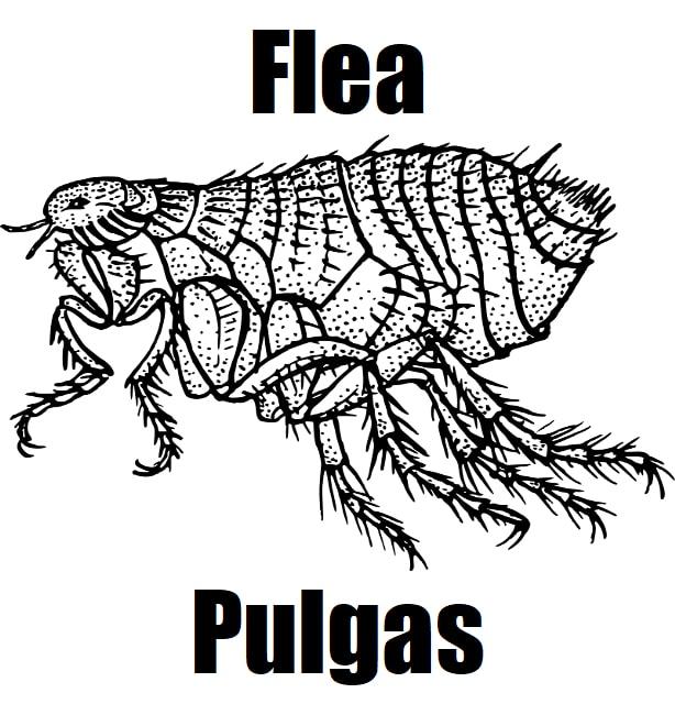Flea in Tagalog