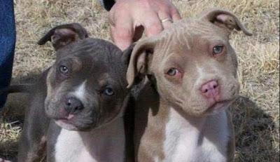 Red nose blue nose pitbull mix Temperament, Size, Adoption, Lifespan, Price
