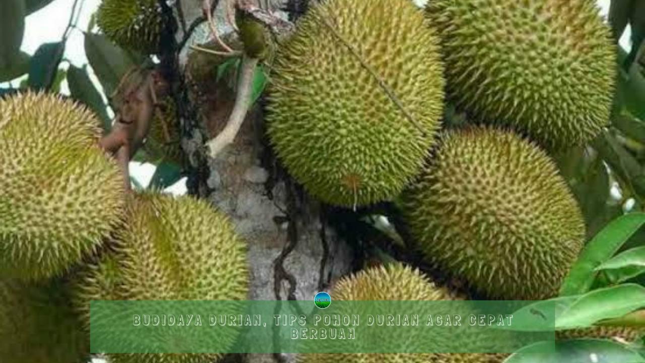 Budidaya Durian, Tips Pohon Durian Agar Cepat Berbuah