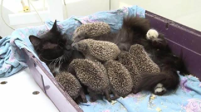 Кошка Муся усыновила 8 сирот-ежиков, и стала для них любящей мамочкой. Чудо-семейка!