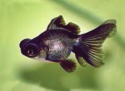 Gambar Ikan Mas Koki Black Moor
