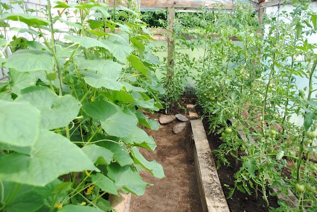 Kurgid ja tomatid kasvuhoones