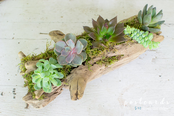 driftwood used as planter for succulents