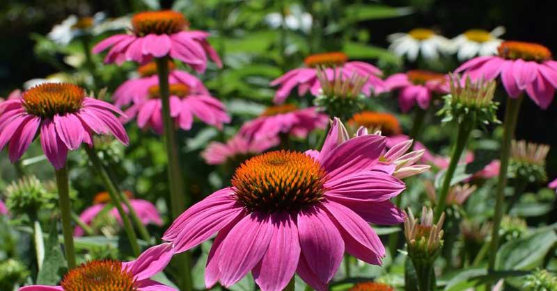 Ljekovita svojstva biljke  Ehinacea