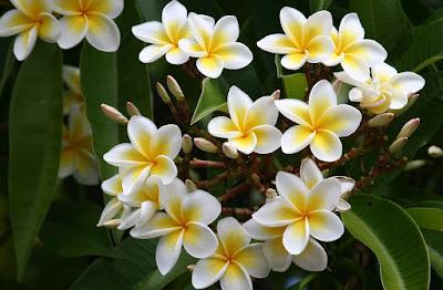 Manfaat Bunga Kamboja Didalam Minyak Varash