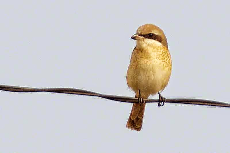 bird,Bull-headed Shrike