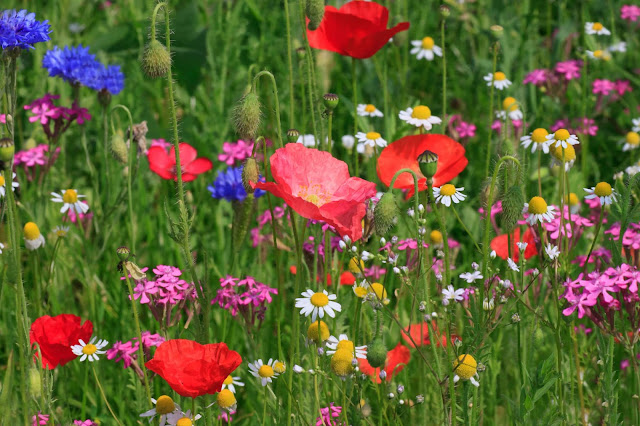 Using Wildflowers in Garden Design
