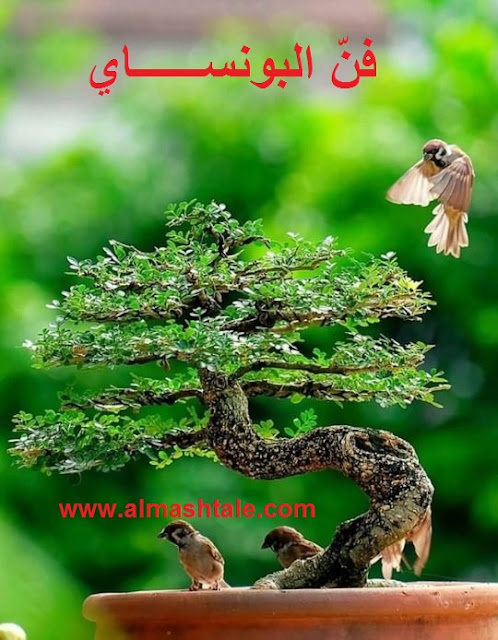 أشجار البونساي bonsai tree