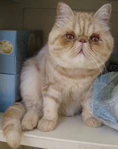 القط الدخيل Exotic Shorthair