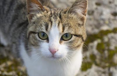 Ciri Kucing Aegean