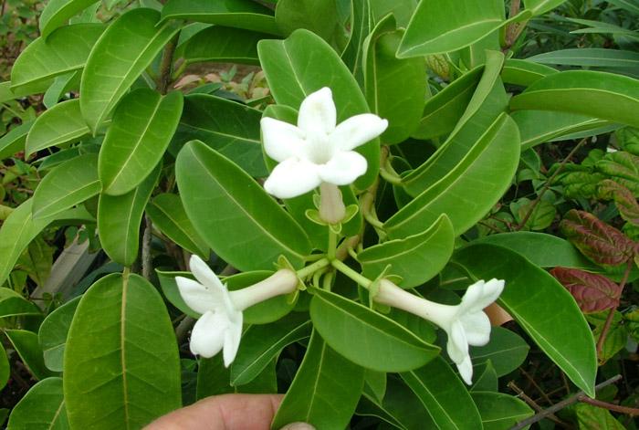 Flower Picture Stephanotis Flower