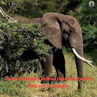 These elephants defend the environment but are in danger