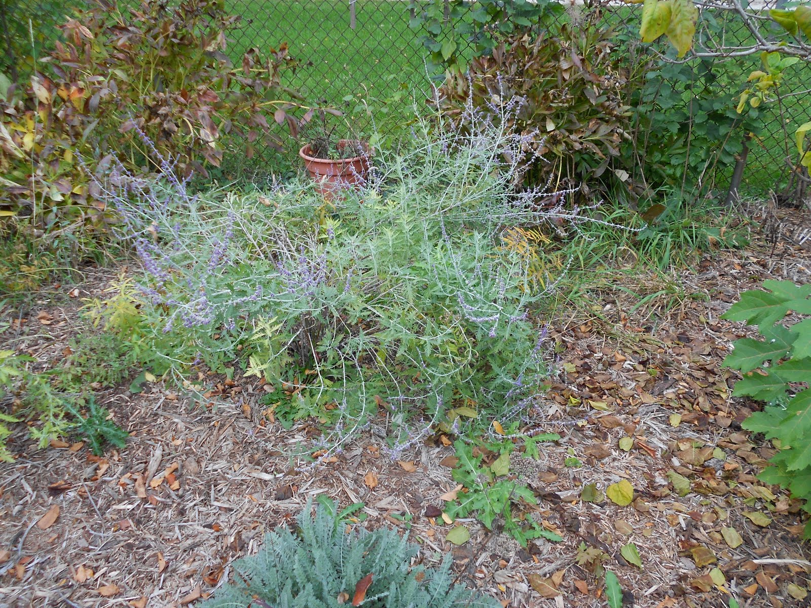 how to get rid of russian sage