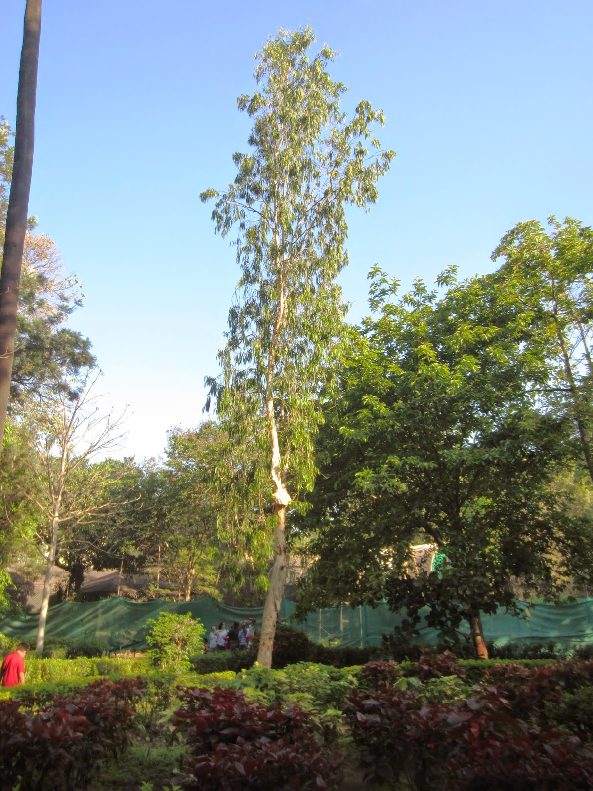 Cajeput Tree: My World: Rani Bagh Botanical Garden Tree Trail