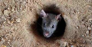 Cara Mengusir Tikus di Rumah yang Aman dengan Bahan Alami