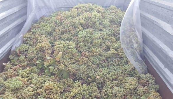 الانتهاء من عمليات استلام محصول العنب العصيري في السويداء بكميات بلغت نحو 5800 طن