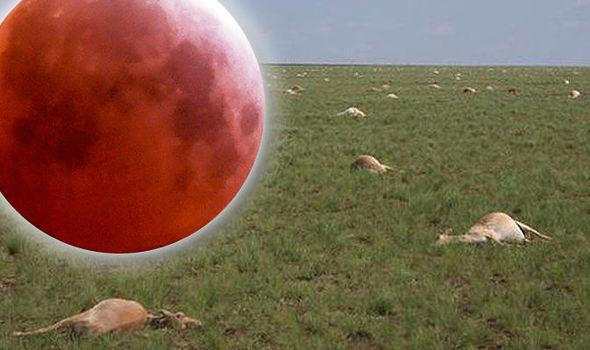Misteri 140.000 antelop mati mendadak: Conspiracists mengklaim ini bukti Kiamat Bulan Darah