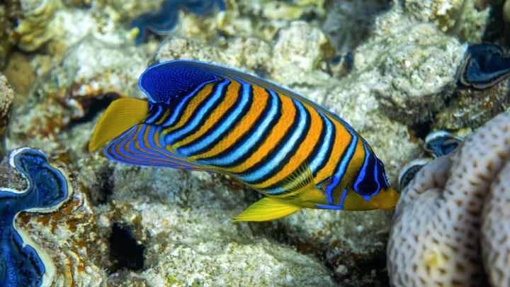 angelfish diseases symptoms