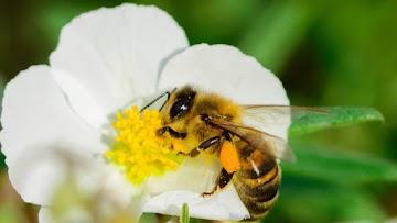 Abelhas em extinção : E de efeito cascata a cultura alimentar e a humanidade